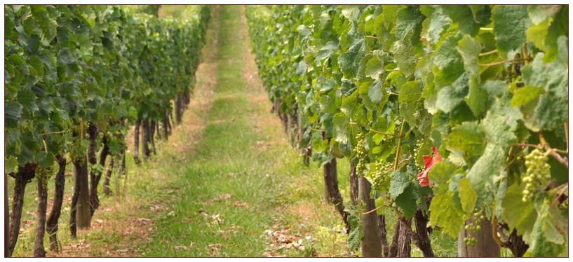 Virginia vinyard
